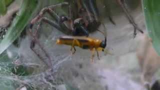リンゴカミキリを捉えたクサグモ Agelena limbata