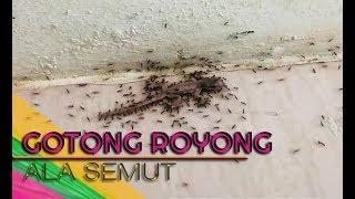 TERNYATA : Secara Gotong Royong, Seperti Ini Semut Bawa Mangsanya