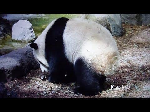 Panda Jia Yueyue Chasing a Bird at Calgary Zoo