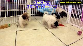 ShiChon, Puppies, For, Sale, In, East Honolulu, Hawaii, HI, Makaha, Pukalani, Haiku Pauwela, Maili,