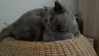 I don't like your camera. British Shorthair cattery Calmcat