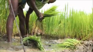 TN Save Our Rice - Part 4 - Saving rice in Kerala, Karnataka, Orissa and Westbengal