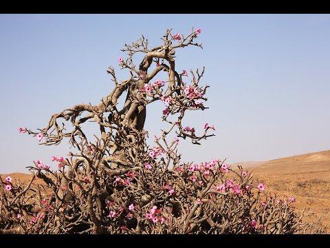 Os 5 segredos do cultivo da rosa-do-deserto