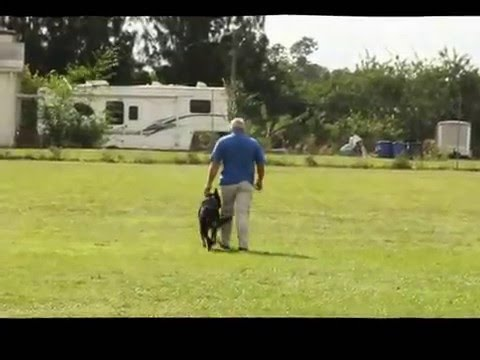 Space Coast Schutzhund Club Ammo's BH with 15 mon.  12/ 05/ 15
