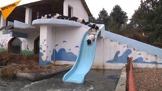 中国の養豚経営者は、豚に完全な自由を与えている。豚たちはジャンプし...