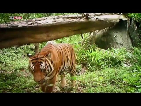 Poaching Patrols Raise Hope For Thailand's Wild Tigers