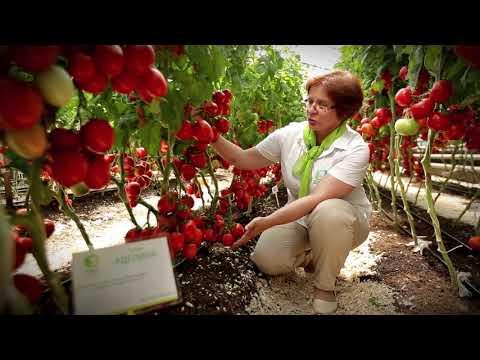 Очень урожайный сорт Аделина - транспортабельный, жаростойкий и засухоустойчивый сорт.   семенатомата   агрохолдинг   выращиваем   вырастить   помидоры   томаты   томата   гибрид   томат   поиск