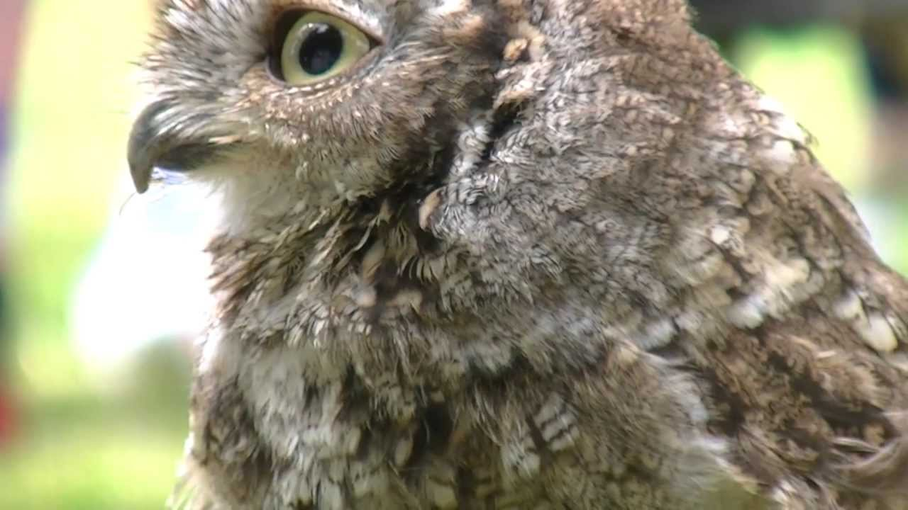 A Cute Little Screech Owl - YouTube