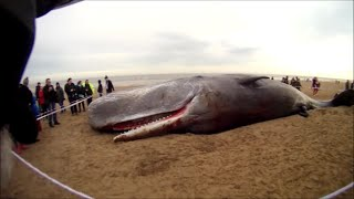Sperm Whale Washes up on Skegness Beach