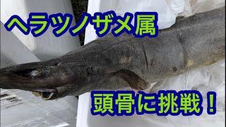 正体不明の深海ザメ?ヘラツノザメ属の頭骨標本を作ってみた!