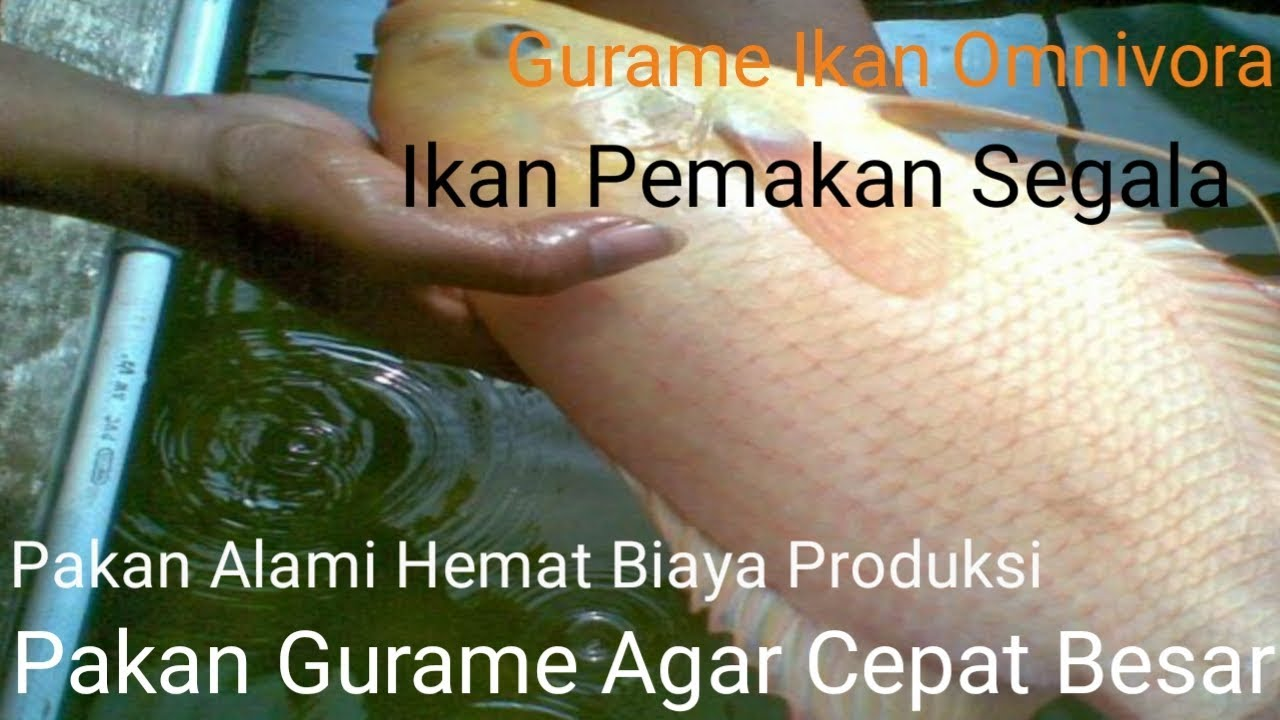 Budidaya Gurame Terbukti 7 Jenis Pakan Ikan Gurame Agar Cepat Besar Youtube
