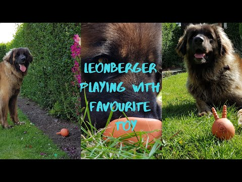 Leonberger dog playing with favourite toy