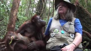 FreeAnimalVideo.org Visits OFI (Orangutan Foundation International) in Indonesia
