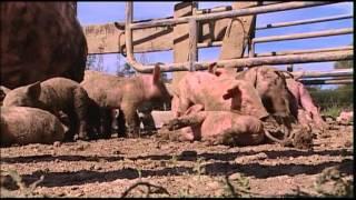 film porc bio