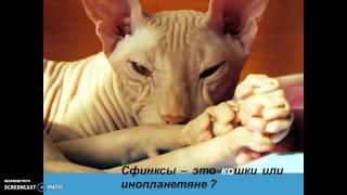 О кошках - СФИНКС. ЛЫСЫЕ кошки.