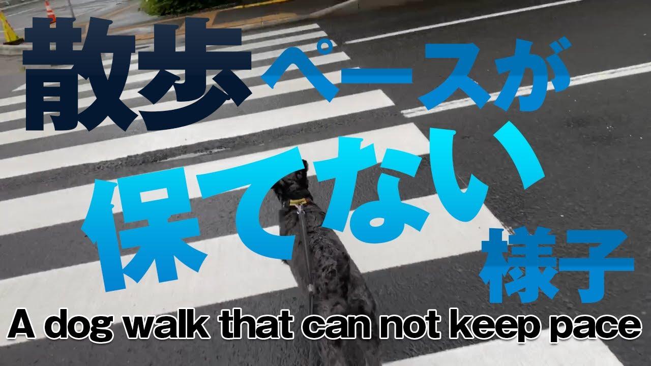 いつもペースが保てない犬散歩の様子 A dog walk that can not keep pace