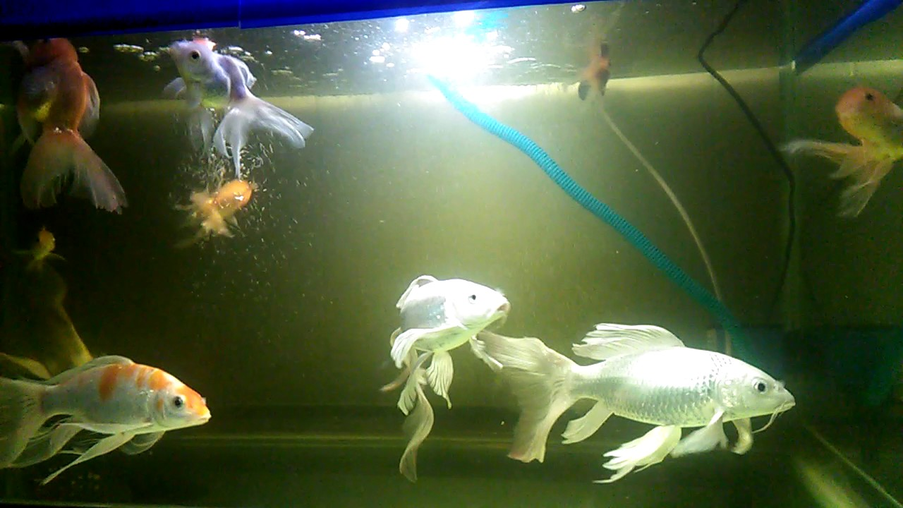 49 Best Chest Koi Fish Tattoos Images On Pinterest: Beautiful Butterfly Koi And Goldfish Tank.