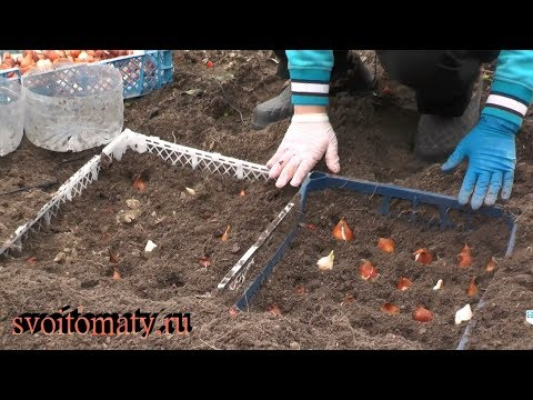 Как мы сажаем луковицы тюльпанов под зиму