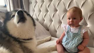 Malamute and Baby Howl Contest ( CUTEST VIEDEO EVER!!)