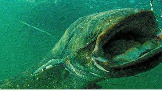 Поклевка сома под водой 30кг Сомяра рыбалка на квок