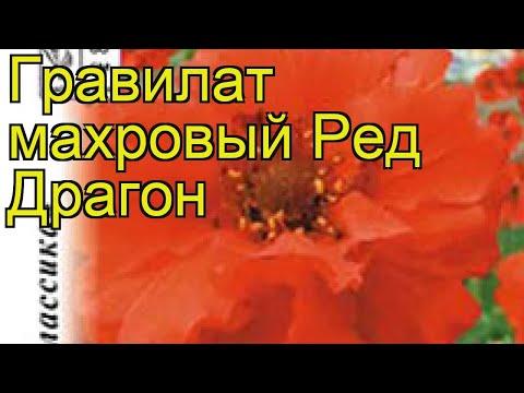 Гравилат махровый Ред Драгон. Краткий обзор, описание характеристик geum Red Dragon