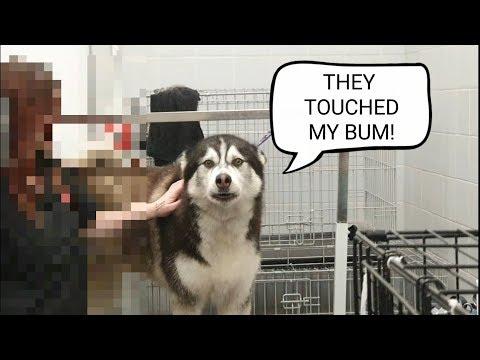 Husky gets a shock while being de fluffed! | dog deshedding