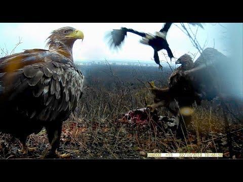 Орлы - великаны (ОРЛАН БЕЛОХВОСТ): фотоловушка сняла сшибку редких хищных птиц / Erne / REAL Animals
