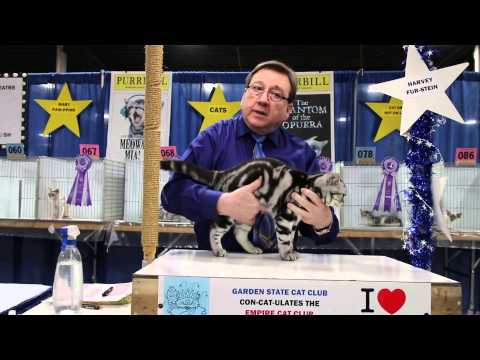 American Shorthair - Garden State Cat Show