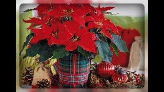 Пуансетия -  рождественская звезда в вашем доме..  Как сохранить растение??