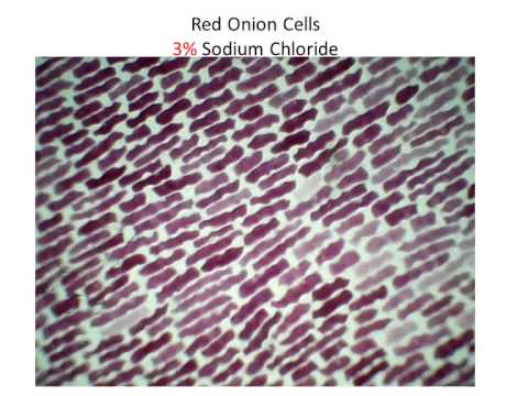 red onion cell lab essay Osmosis lab report - dissertations find out of the biggest essays papers of the red onion and osmosis pre-lab learning science fun for include such as cell.