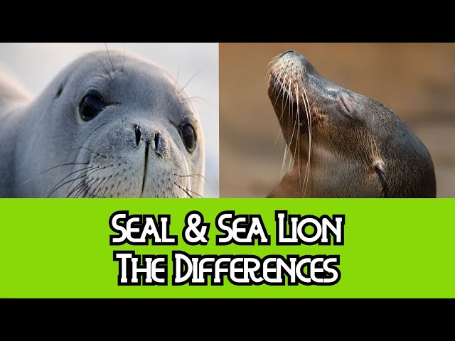 Seal & Sea Lion – The Differences