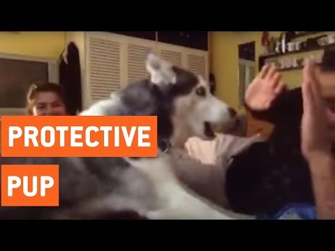 Husky Protects Owner | Protective Pup