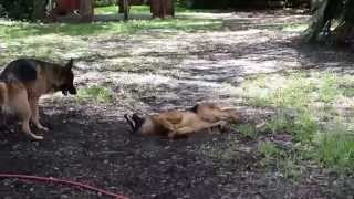 Super Zoomies - German Shepherd