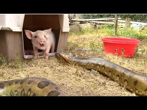 Anaconda Enters Pig Pen--Eats Pig