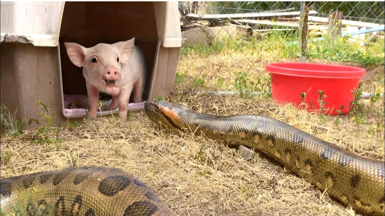 Anaconda Enters Pig Pen--Eats Pig