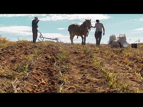 Harvesting Potatoes With Horse-Drawn Plow
