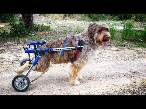 Amazing DOGS ON WHEELCHAIR RUNNING AND HAVING FUN !