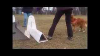 Flyball Training - Fado (nova Scotia Duck Tolling Retriever)