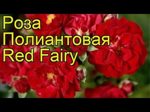 Роза полиантовая Ред Фэйри. Краткий обзор, описание характеристик, где купить саженцы Red Fairy