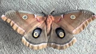 Polyphemus Moth (Saturniidae: Antheraea polyphemus) Dorsal View