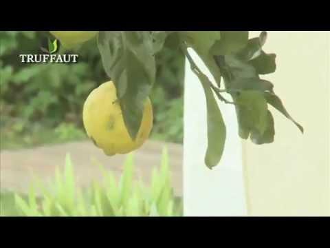 citronnier plantation et entretien jardinerie truffaut. Black Bedroom Furniture Sets. Home Design Ideas