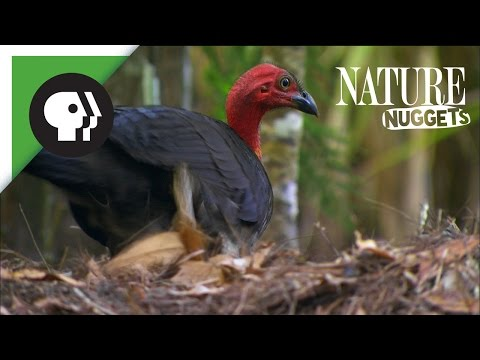 What is this Turkey Doing? | NATURE Nuggets