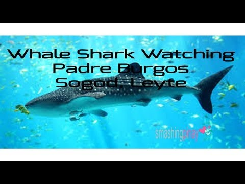 Whale Shark: Swimming with the Butanding in Padre Burgos Leyte