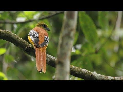 Orange breasted Trogon / Luntur Harimau / Harpactes oreskios