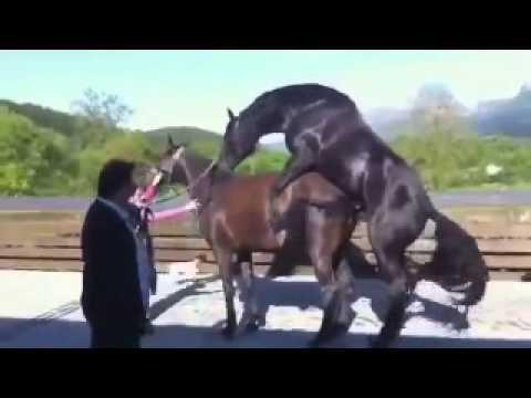 Красивое животное конь и трахается он так же красиво! Залюбуешься!!!