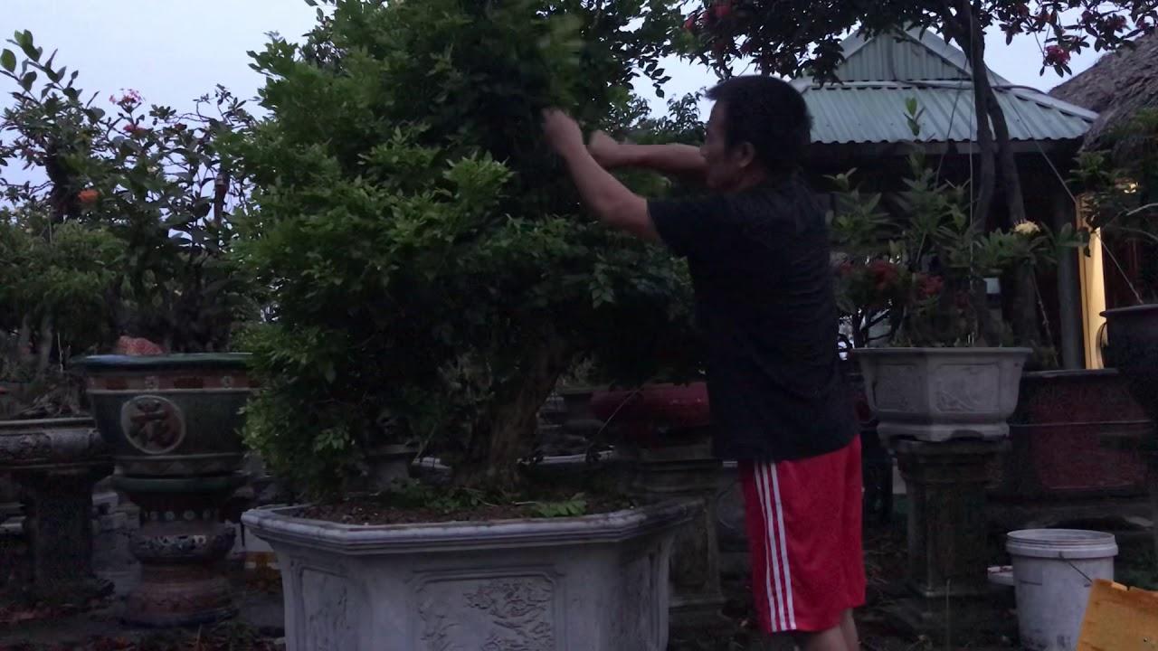 Phần 1; Hướng dẫn cắt chỉnh sửa cây Nguyệt Quế, dáng Anh Hùng Vũ Mai Phong Cách.
