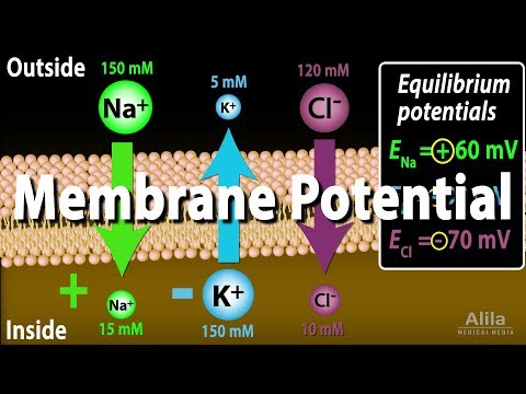 Membrane Potential, Equilibrium Potential and Resting Potential, Animation