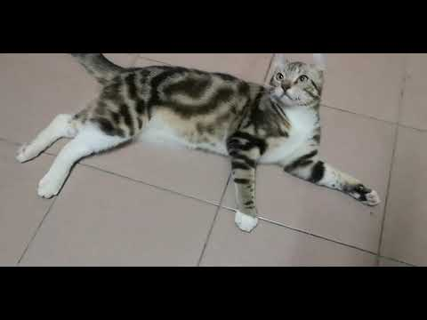 American curl cat playing