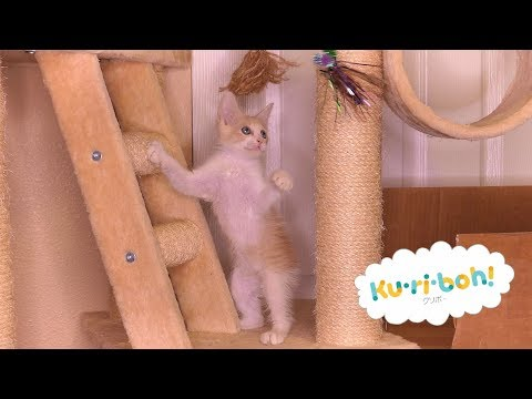 Wand Try Outs on the Cat Tree 4k Japanese Bobtail Kittens