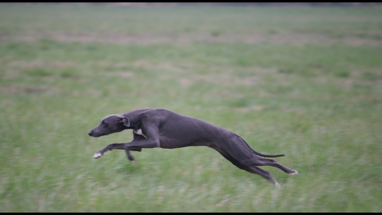8 month old whippet puppy's 1st coursing training - YouTube